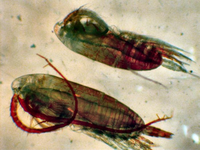 neocalanus flemingeri