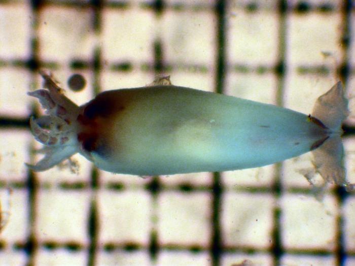 Onychoteuthis