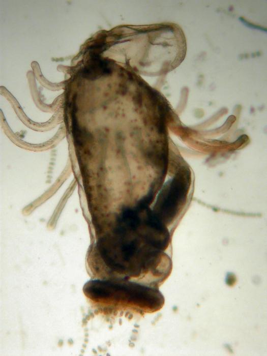 Actinotrocha sp.