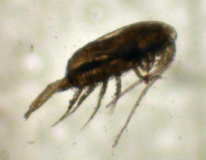 Pseudocalanus moultoni