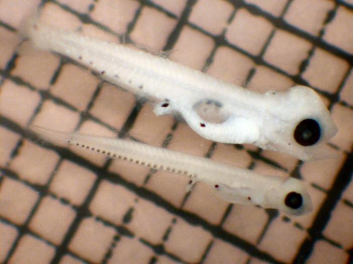 Stenobrachius leucopsarus and Protomyctophum thompsoni