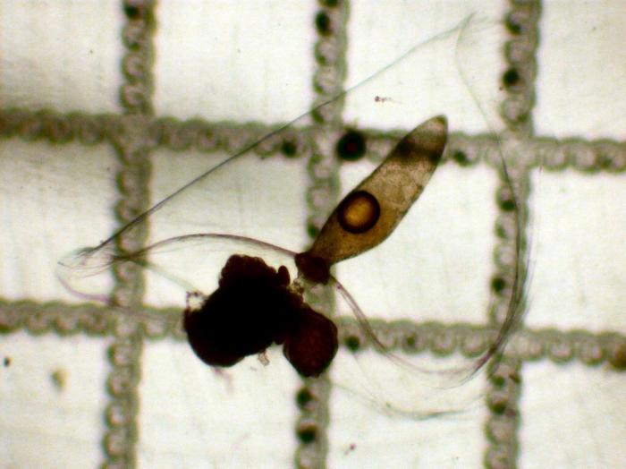 Lensia subtiloides