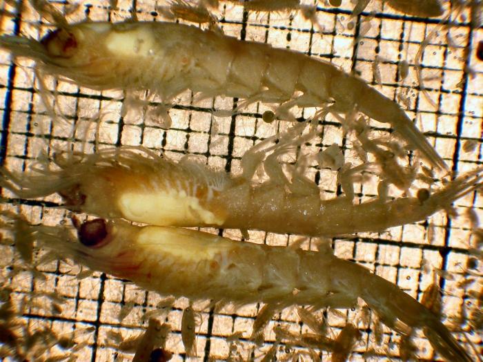 Thysanoessa spinifera