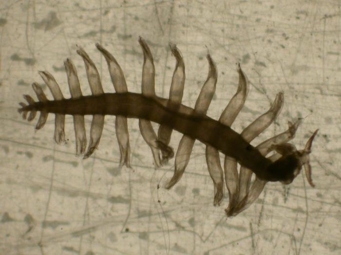 Tomopteris elegans