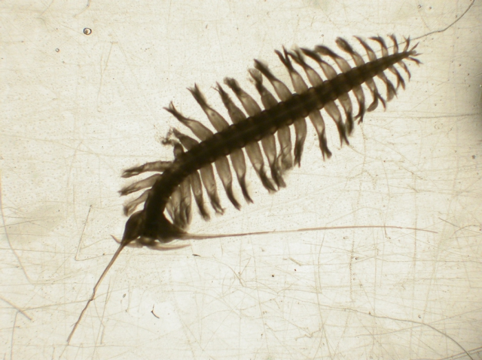 Tomopteris septentrionalis