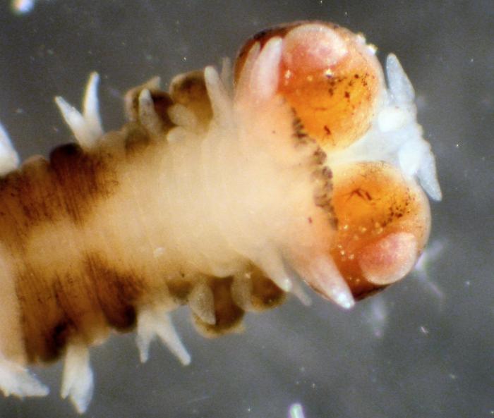 Vanadis longissima