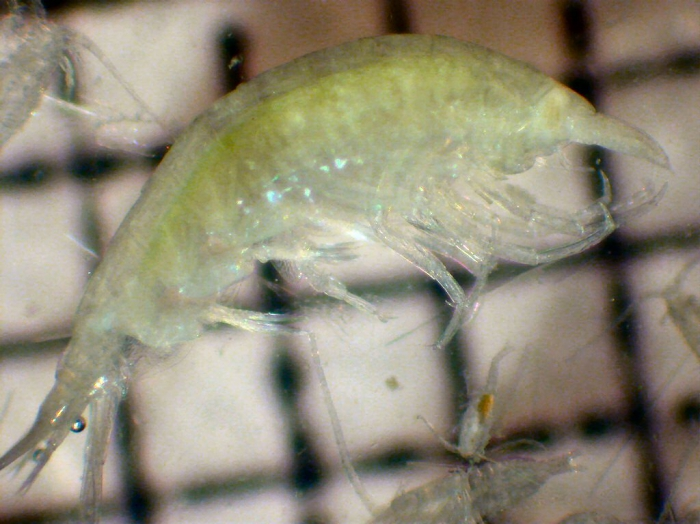 Vibilia australis