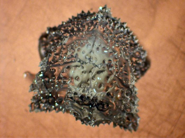 Vogtia spinosa