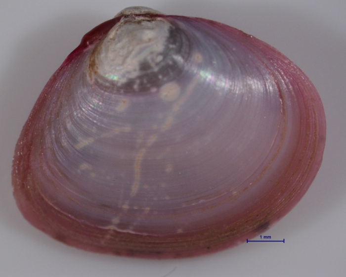 Macoma balthica