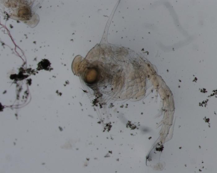 Carcinus maenas zoea IV