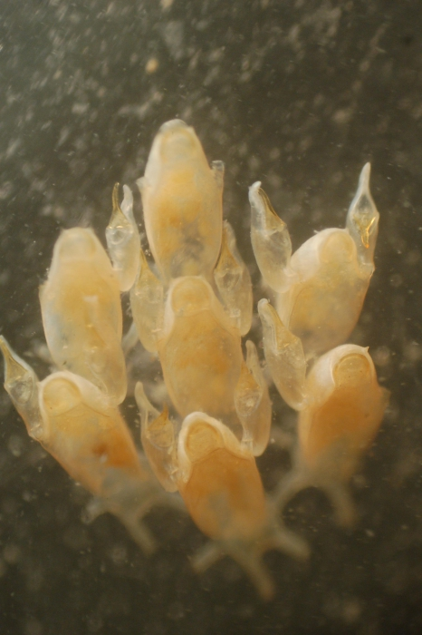 Beania erecta, East Weddell Sea, 2008