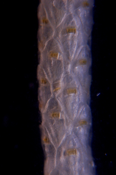 Cellaria aurorae, East Weddell Sea, 2008