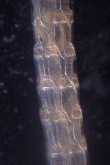 Cellaria diversa, East Weddell Sea, 2008