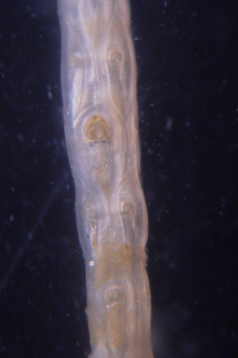 Cellaria incula, East Weddell Sea, 2008