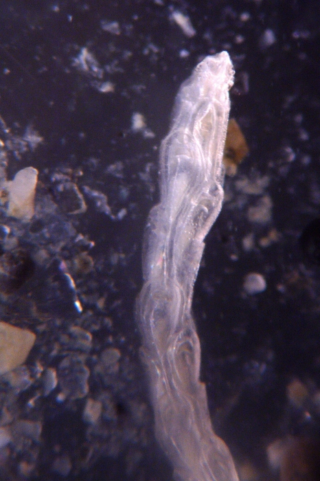 Cellaria moniliorata, East Weddell Sea, 2008
