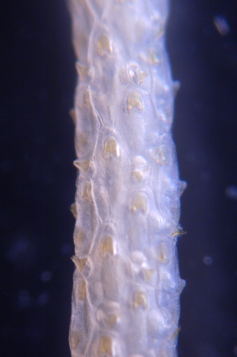 Paracellaria wandeli, East Weddell Sea, 2008