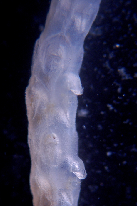 Stomhypselosaria watersi, East, Weddell Sea, 2008