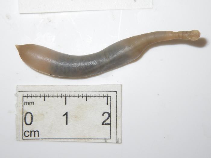 Sipuncula 2
