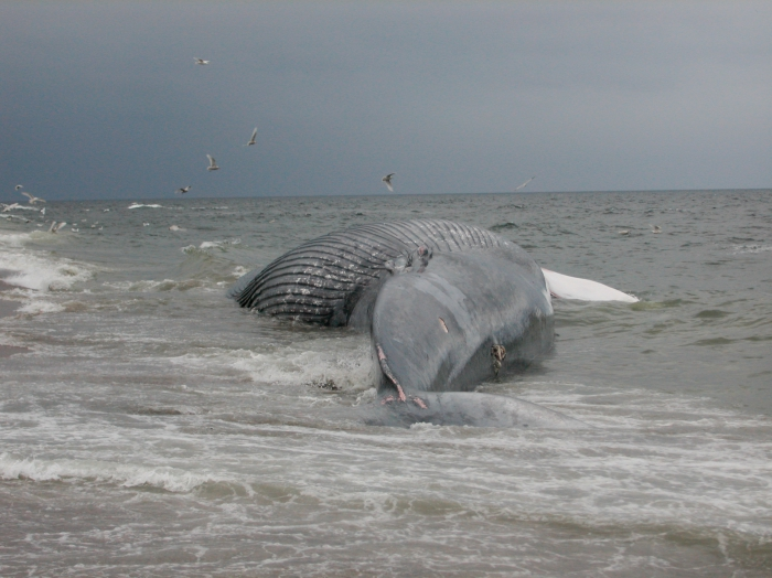 Blue whale-alternate ventral view