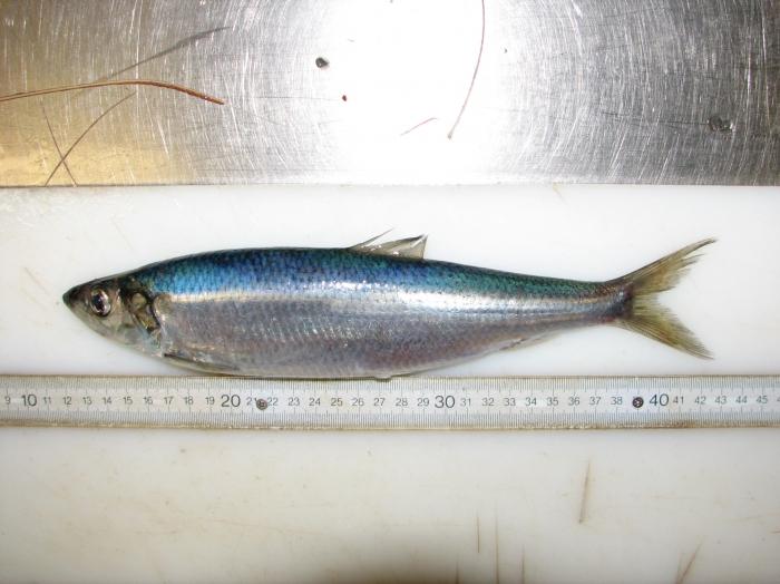 Clupea harengus - Atlantic herring