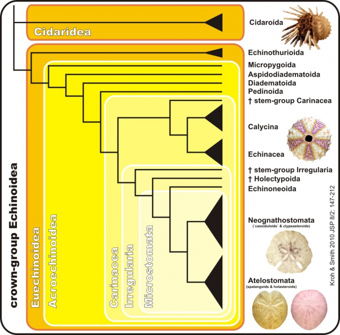 Phylogenetic tree of high-ranking taxa in echinoids (simplyfied)