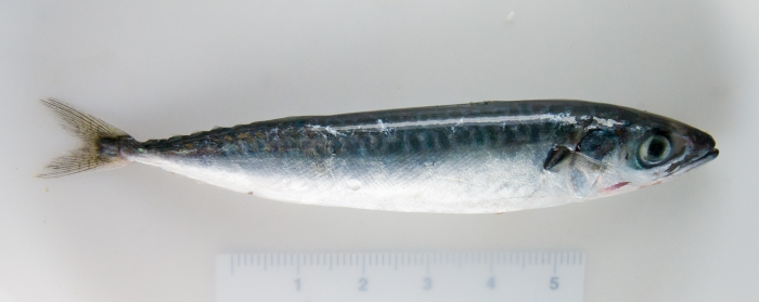 Scomber scombrus - mackerel (juvenile)
