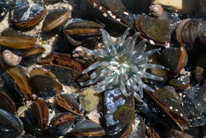 Aulactinia stella in tide pool among mussels