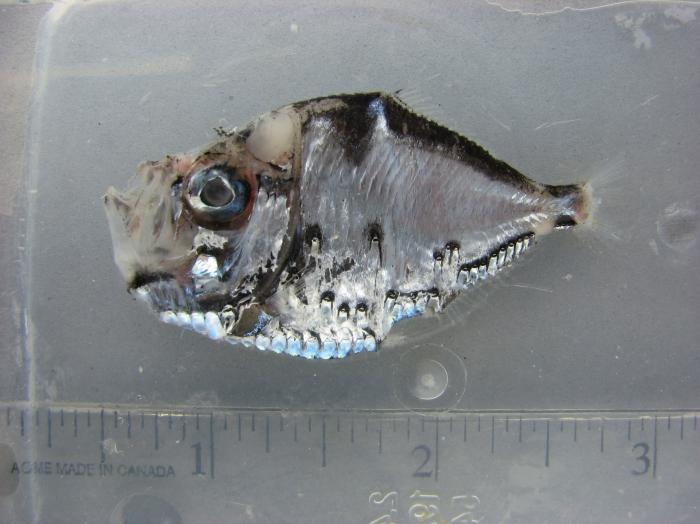 Polyipnus clarus (fresh appearance)