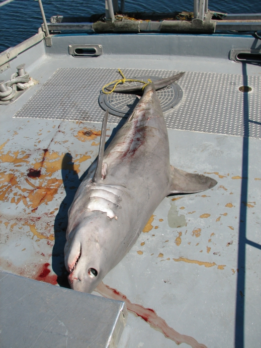 Porbeagle shark