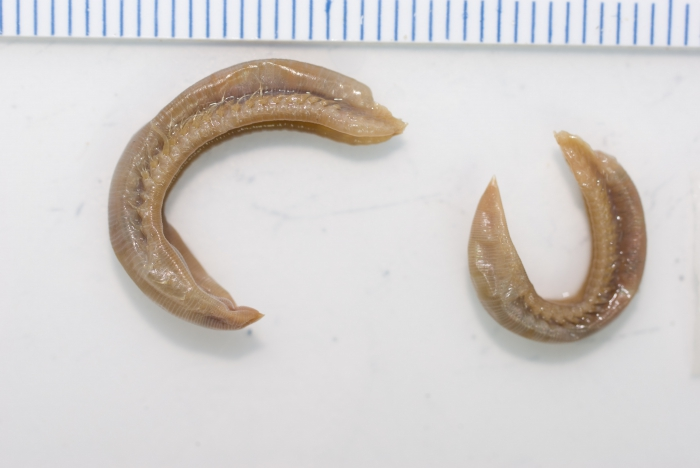Ophelia rullieri - pair