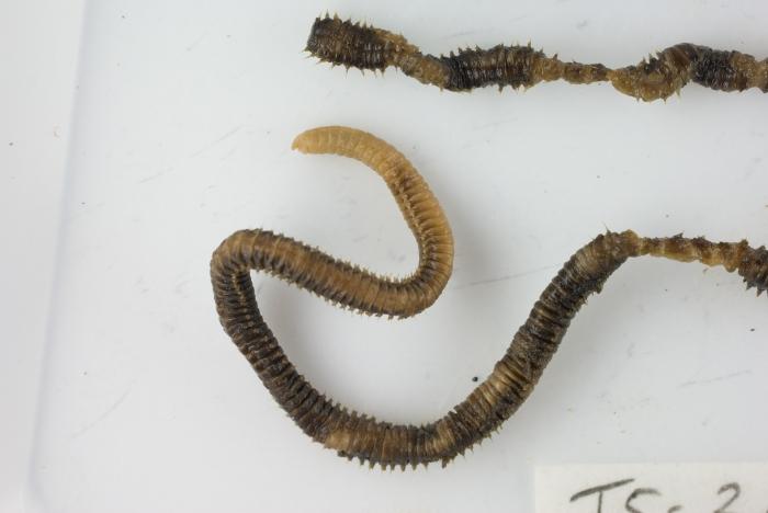 Drilonereis magna