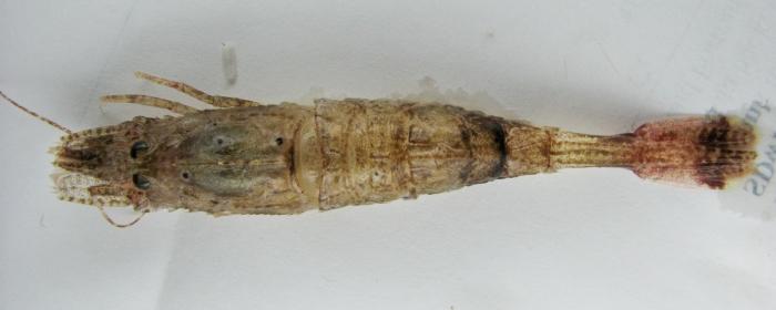 Pontophilus norvegicus