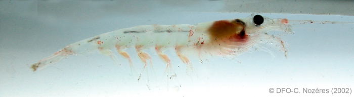 Meganyctiphanes norvegica - horned krill