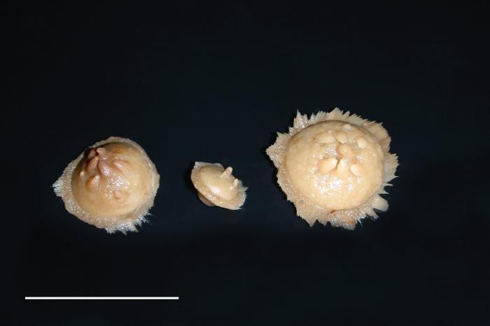 Radiella hemisphaerica