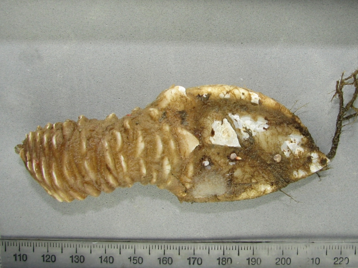 Arcoscalpellum michelottianum