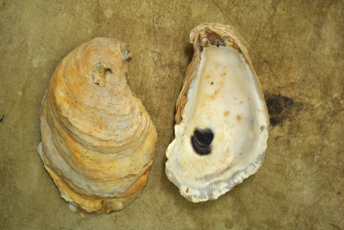 Crassostrea virginica