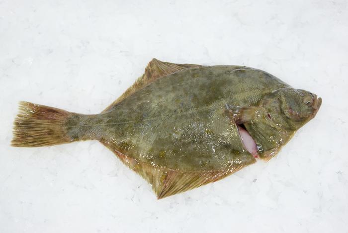 Platichthys flesus