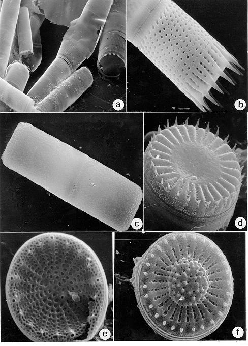 Plate V - Scanning Electron Micrographs (SEM)