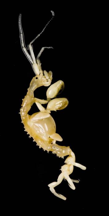 Caprella mutica WoRMS Photogallery