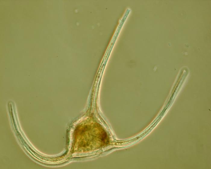 Ceratium longipes