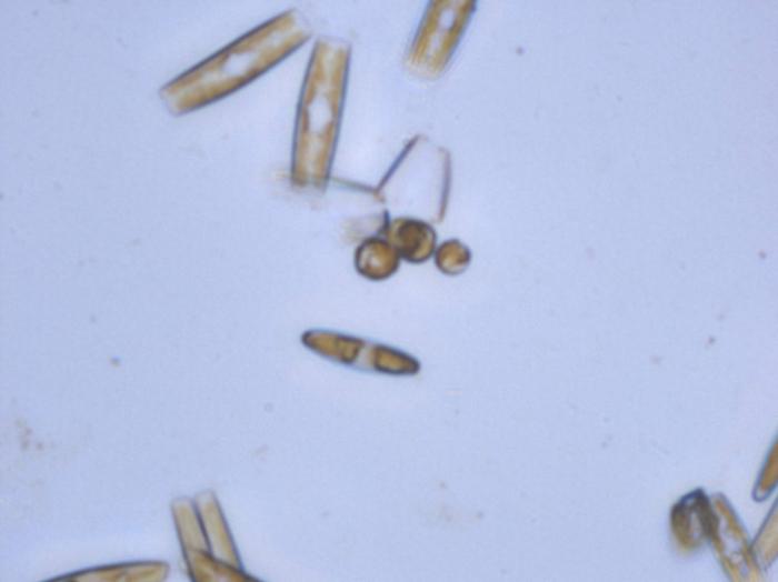 Tabularia fasciculata (C.A. Agardh) Williams & Round