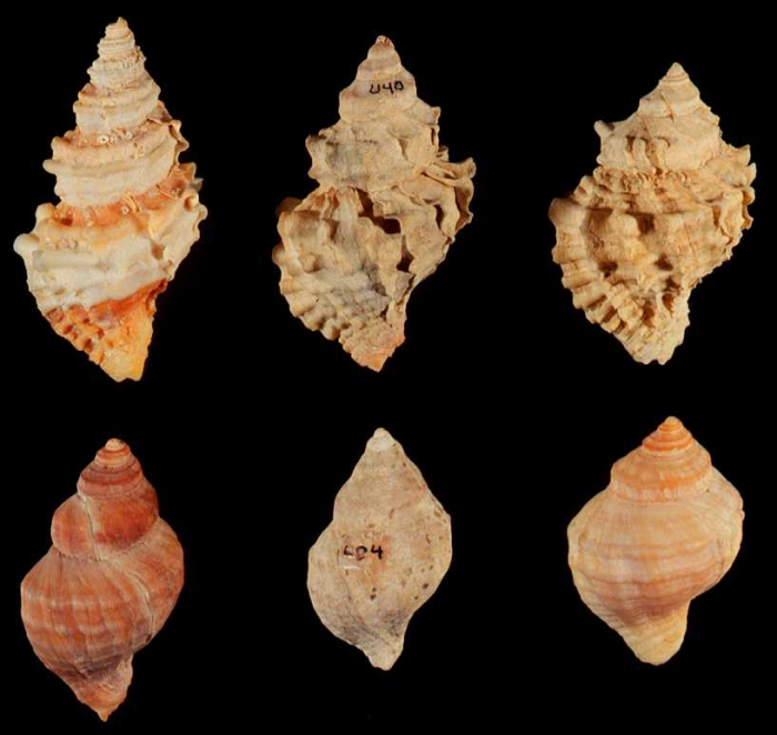 Nucella lamellosa - forms