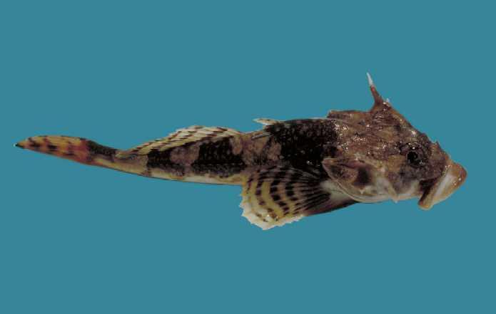 Myoxocephalus