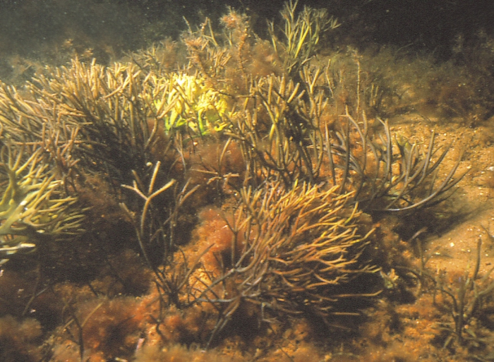 Furcellaria