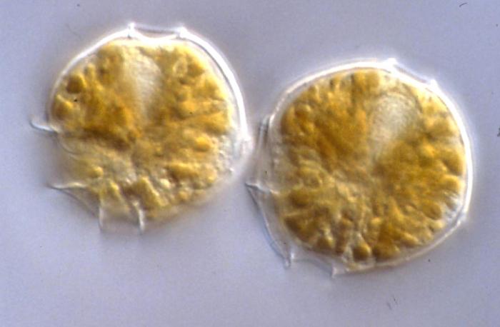 Alexandrium tamarenense