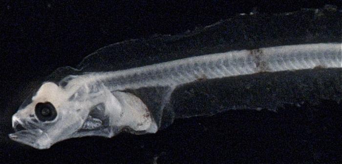 Glyptocephalus cynoglossus
