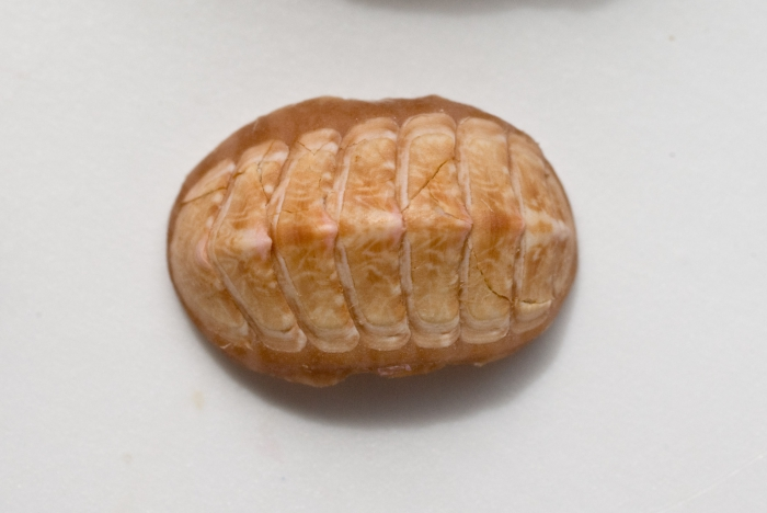 Tonicella marmorea-1