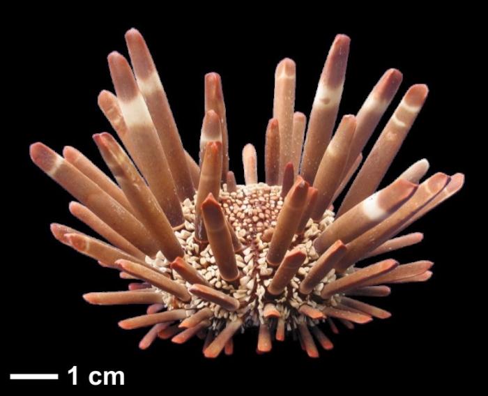 Heterocentrotus mamillatus