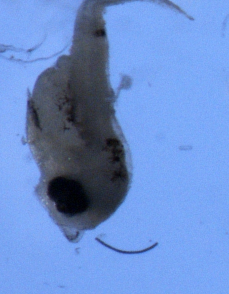 Enchelyopus cimbrius larvae