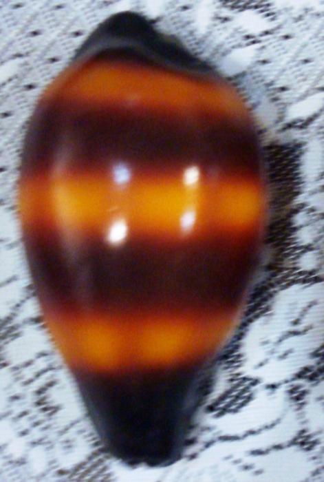 Cypraea talpa (Talparia talpa)